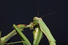Praying_Mantis_Sexual_Cannibalism_European-26